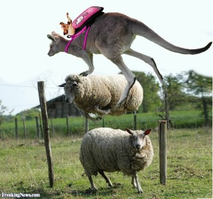 Kangaroo-Jumping-Over-a-Jumping-Sheep