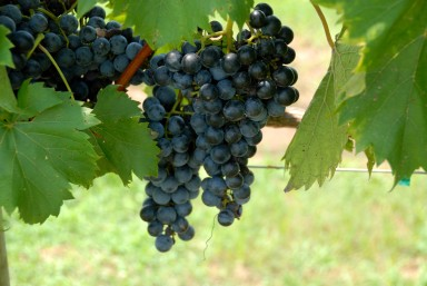 vineyard-grapes