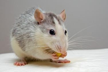 rat-440987_960_720